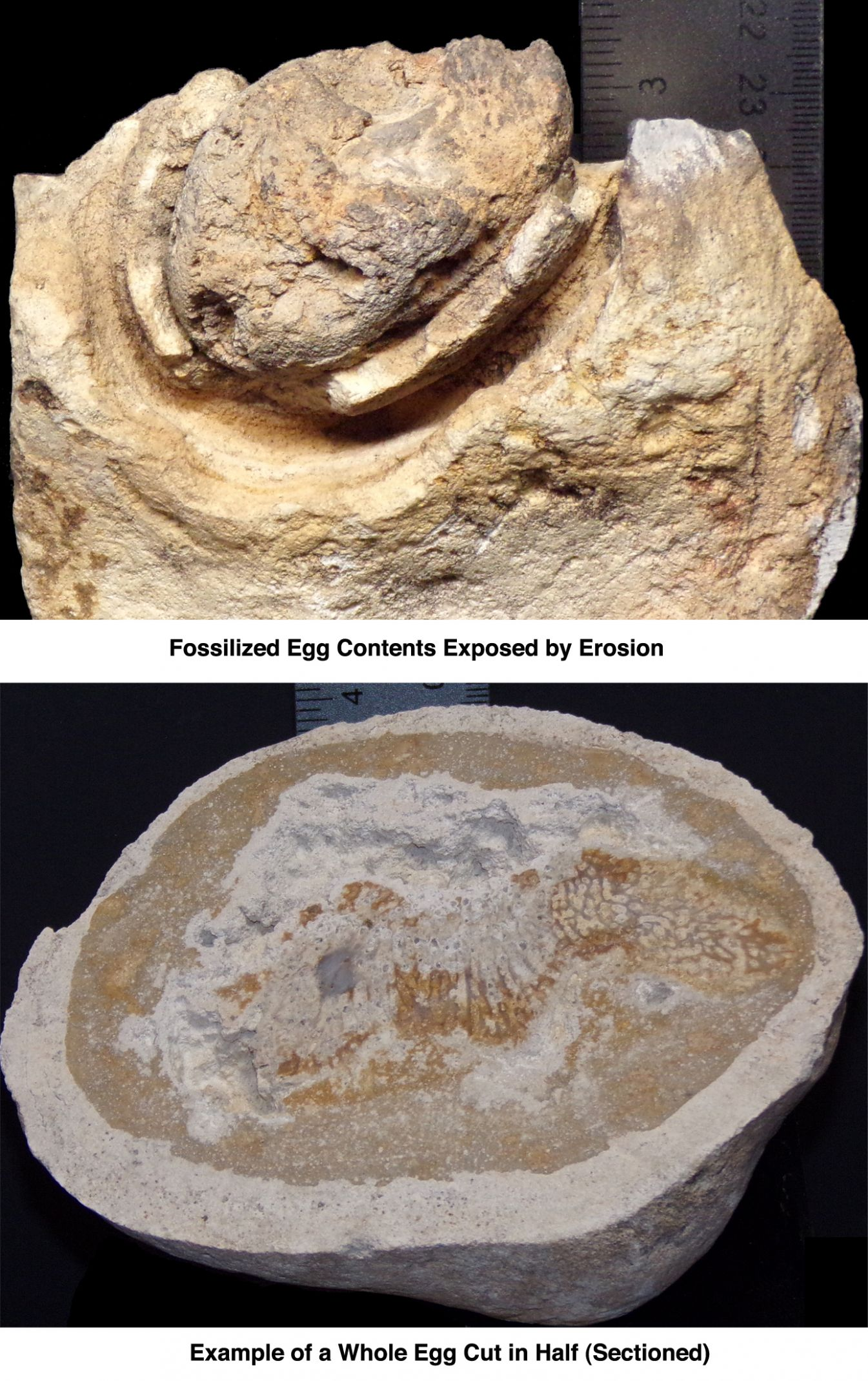 Fossilized Eggs